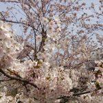 掛川で花見の楽しめる公園、駐車場は?小さい子も楽しめるポイントとは?
