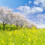 掛川のシオーネで咲く菜の花を見に行くなら、アクセス方法や駐車場も把握しておきたい!