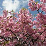 御前崎にある河津桜を見に行くなら開花状況は?駐車場が混雑してても停めれる場所もチェック!