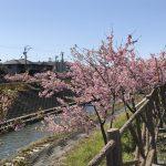 掛川で河津桜が見れる場所6選!特徴やオススメポイント・場所情報(見頃時期)も合わせて紹介!